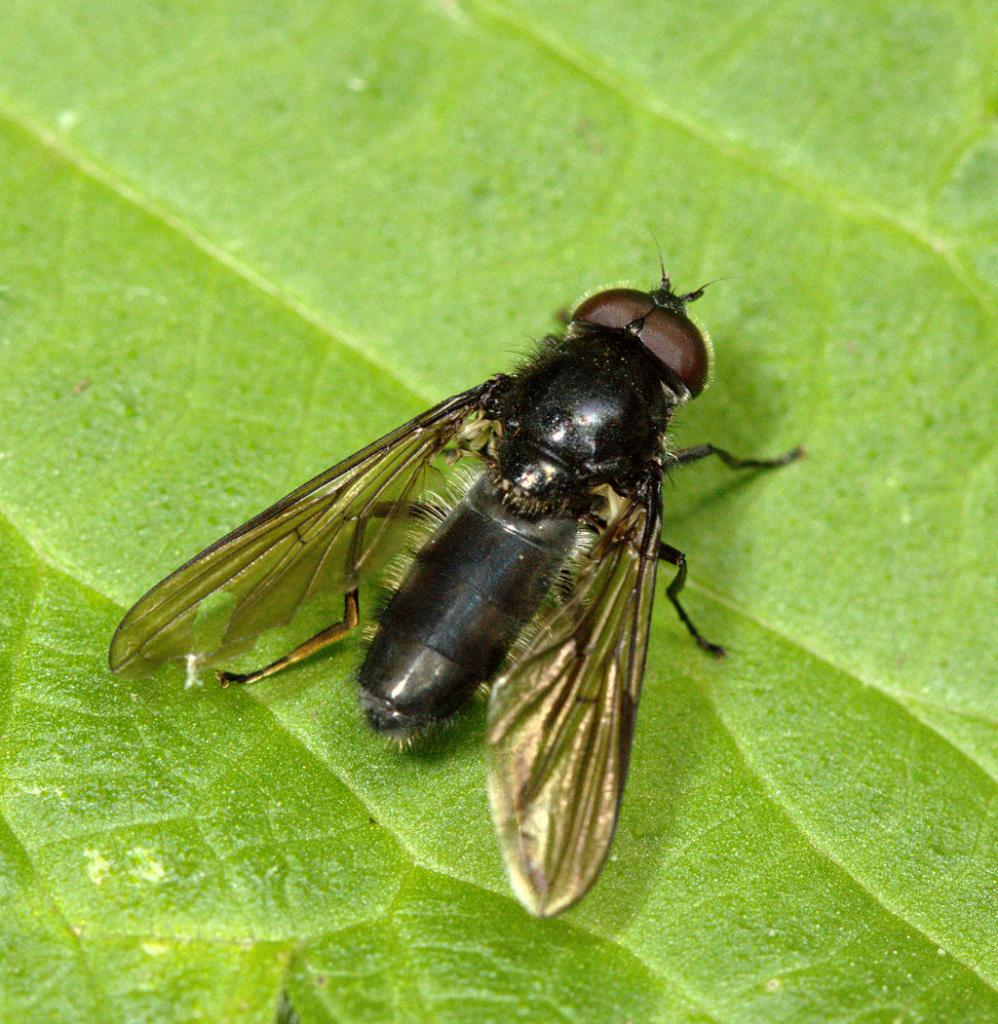 Cheilosia variabilis male