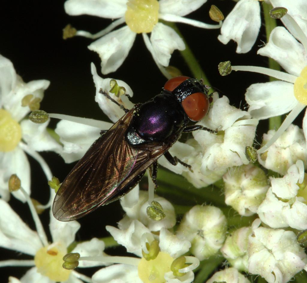 Chrysogaster solstitialis female