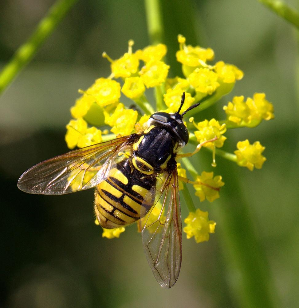 Chrysotoxum cautum on wild parsnip