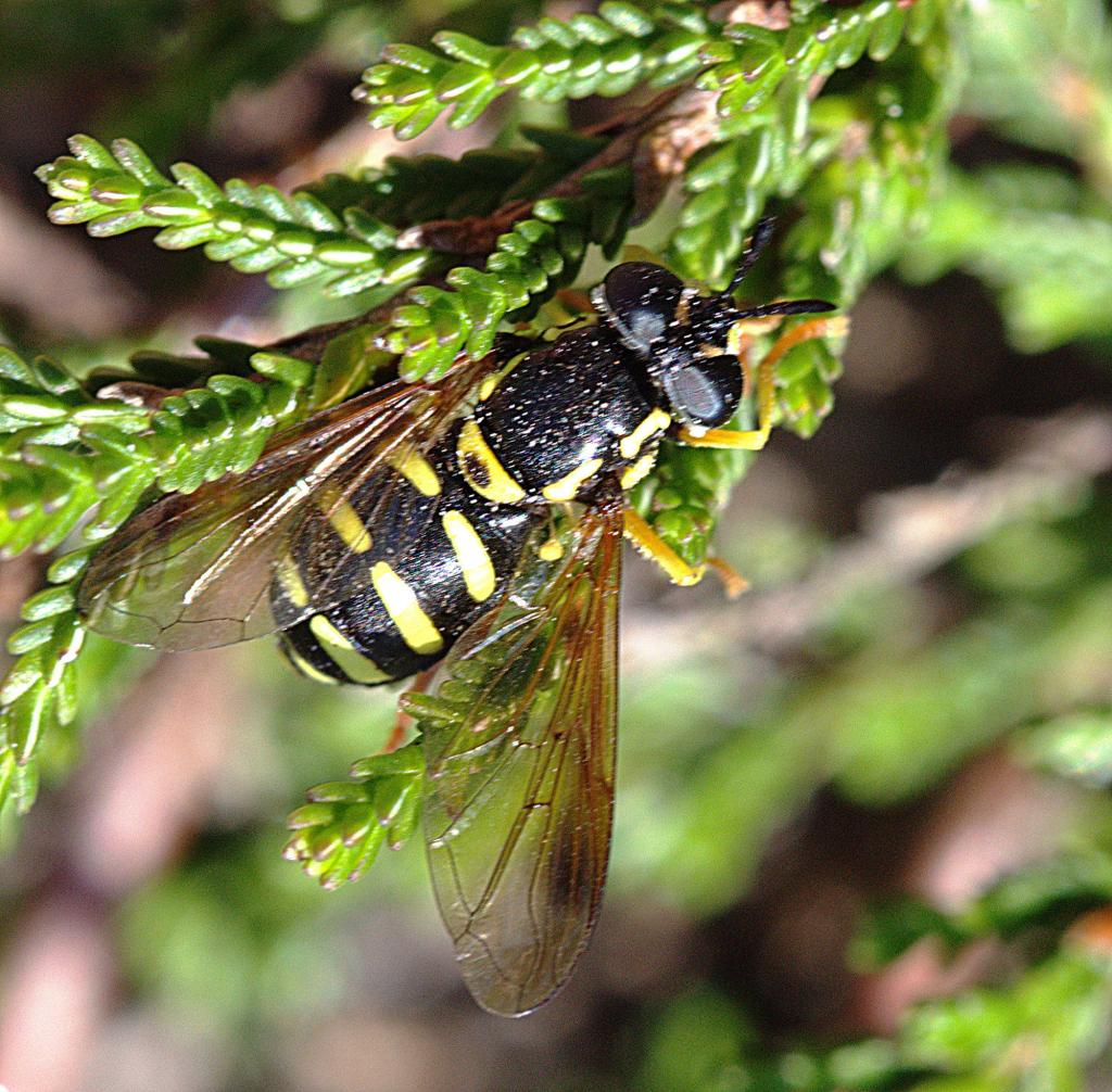 Chrysotoxum vernale female, Arne Heath