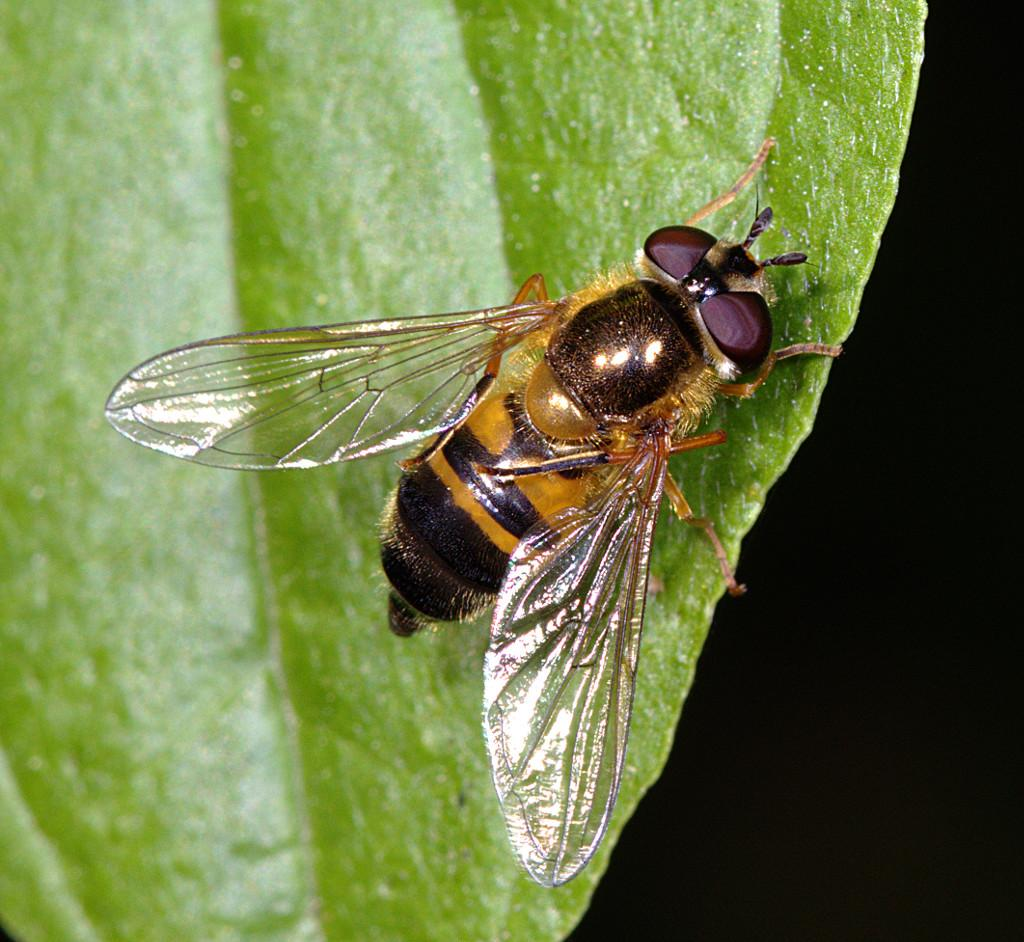 Epistrophe eligans female