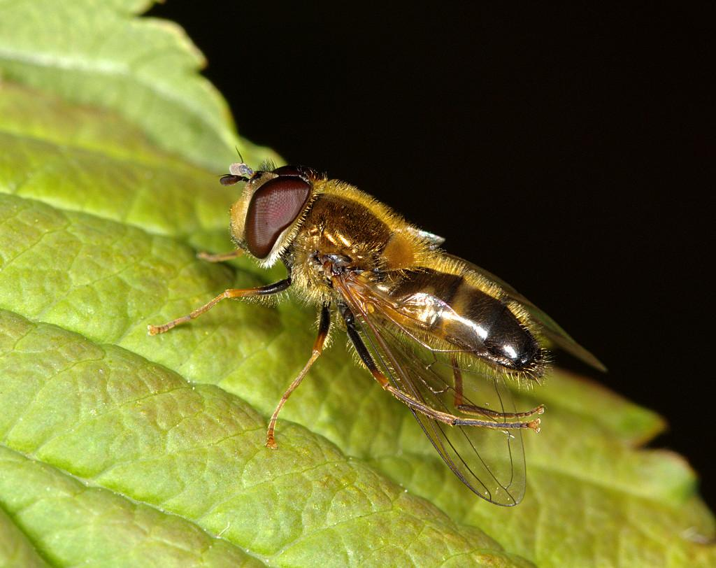 Epistrophe eligans male