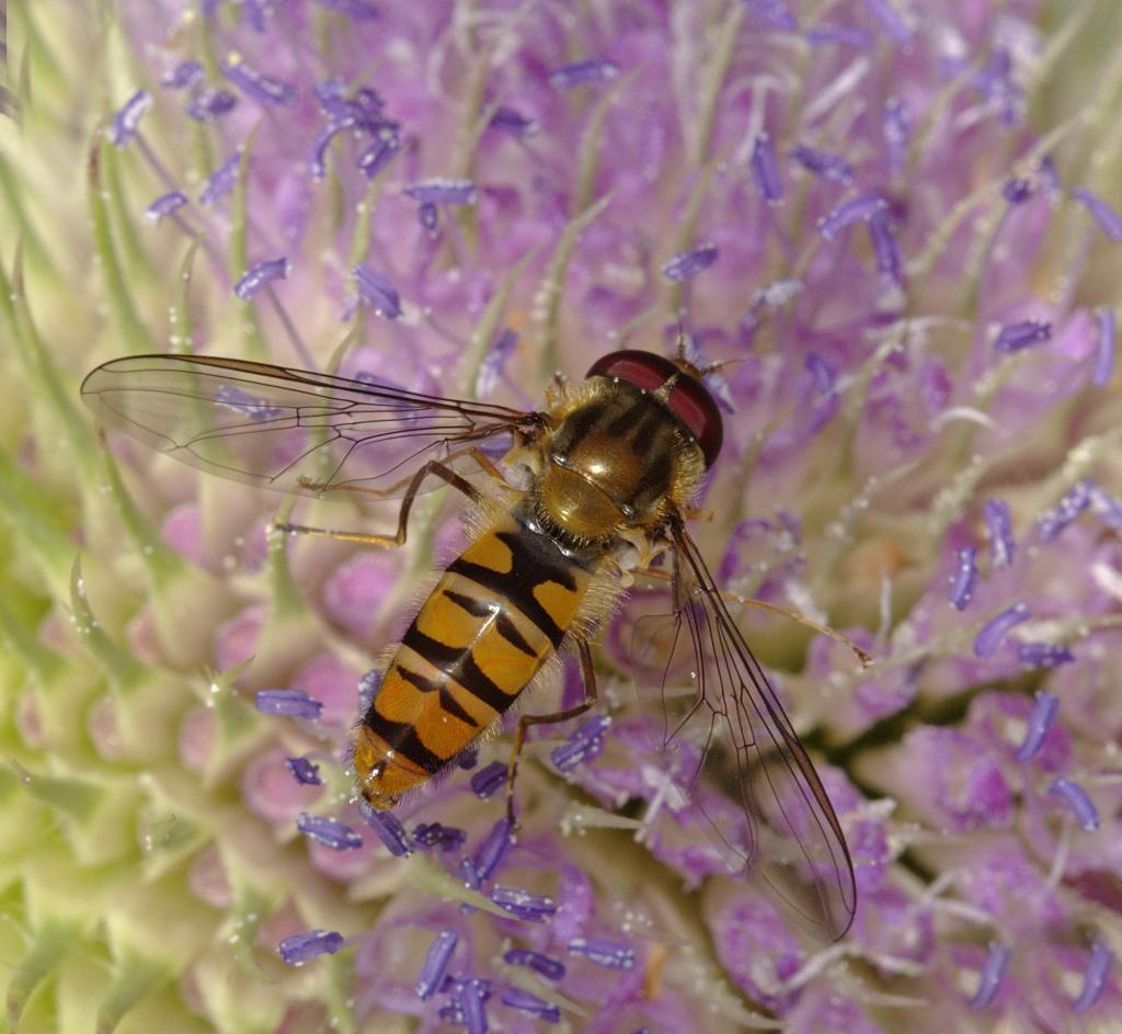 Episyrphus balteatus male on teasel flower