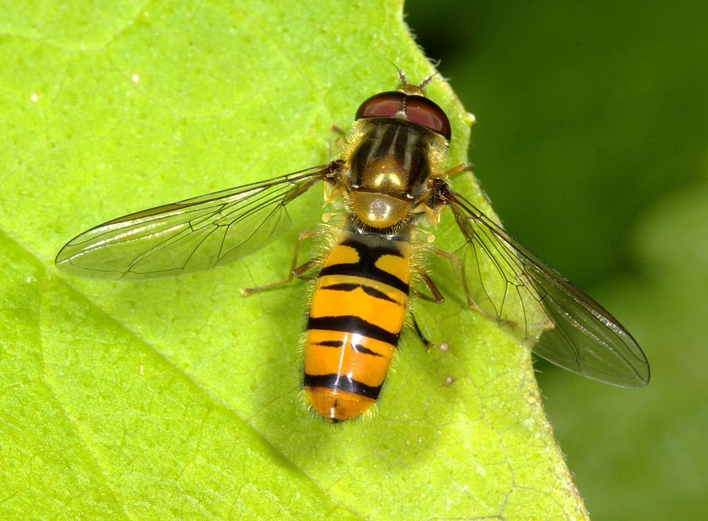 Episyrphus balteatus male