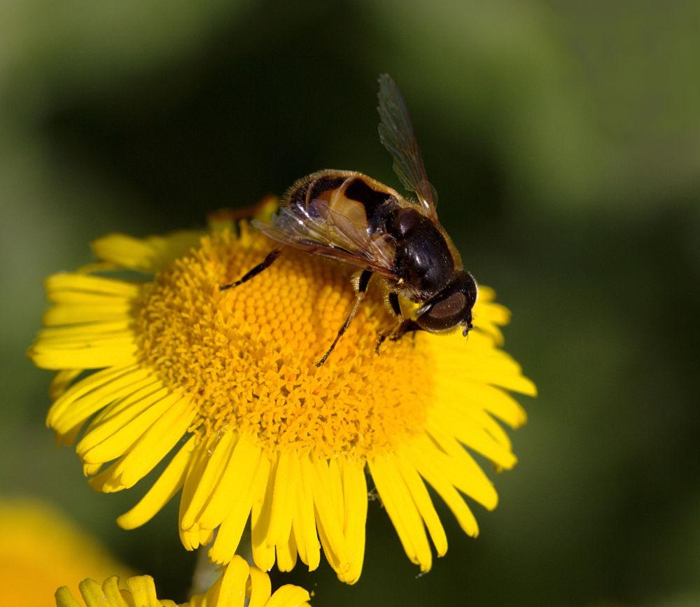 Eristalis arbustorum male