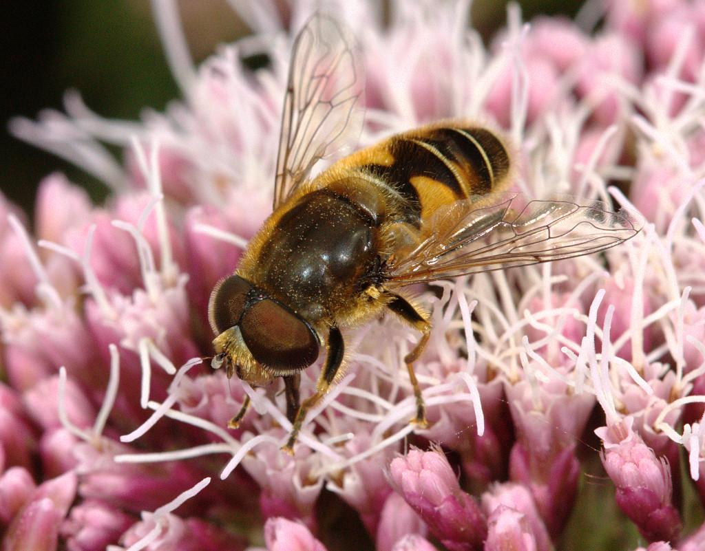 Eristalis nemorum male on Hemp Agrimony