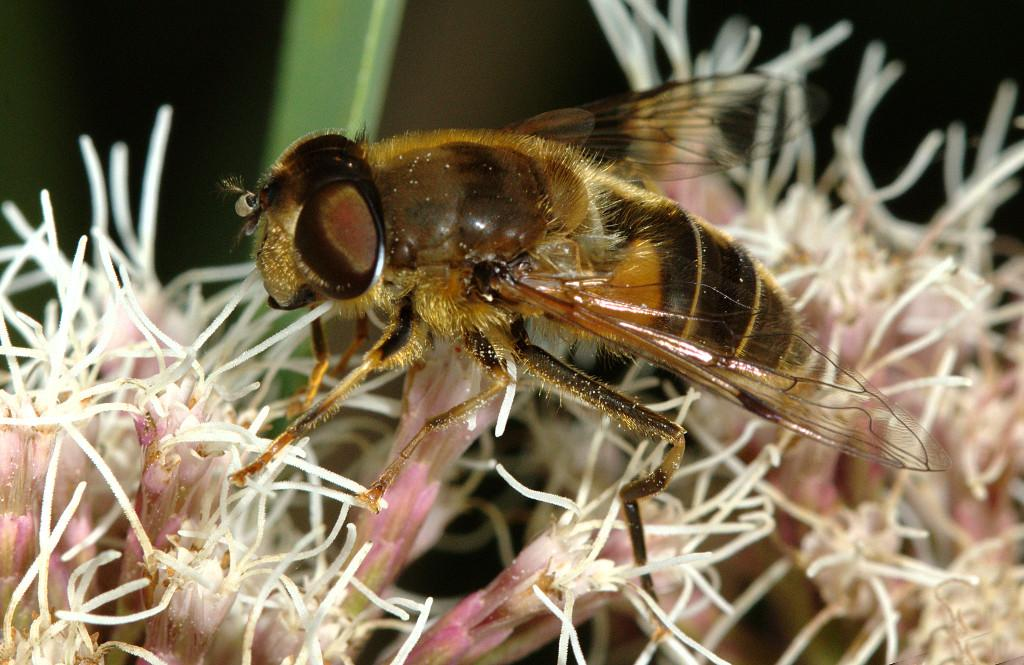 Eristalis pertinax female