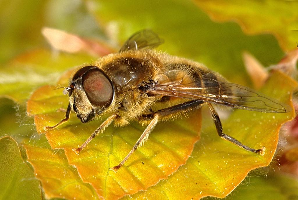 Eristalis pertinax male