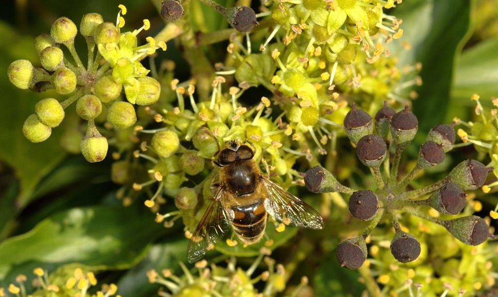 Eristalis tenax male on ivy