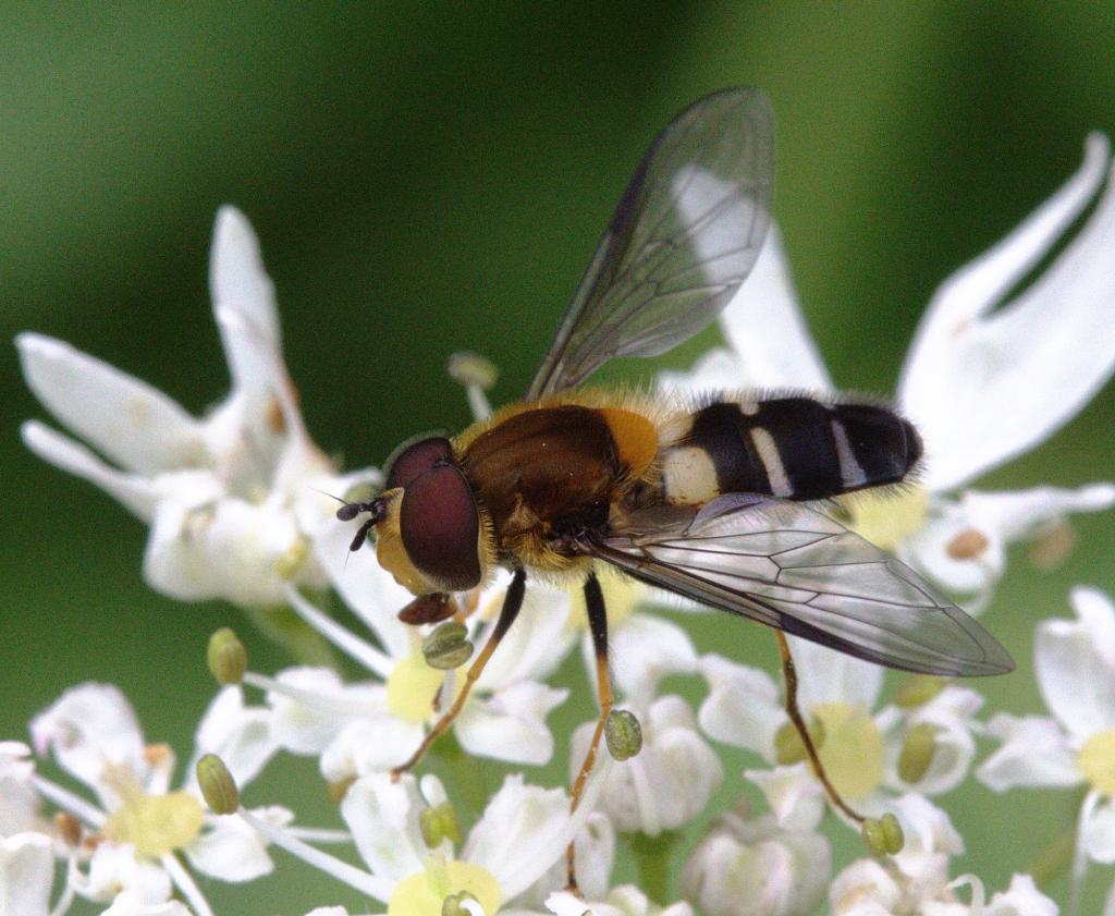 Leucozona glaucia male