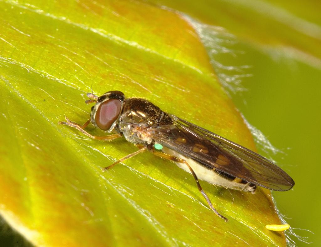Melanostoma scalare female