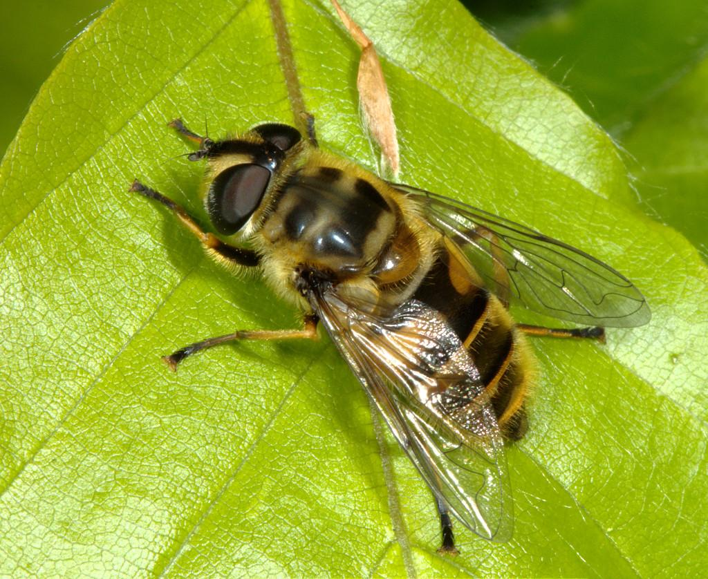 Myathropa florea female on a beech leaf