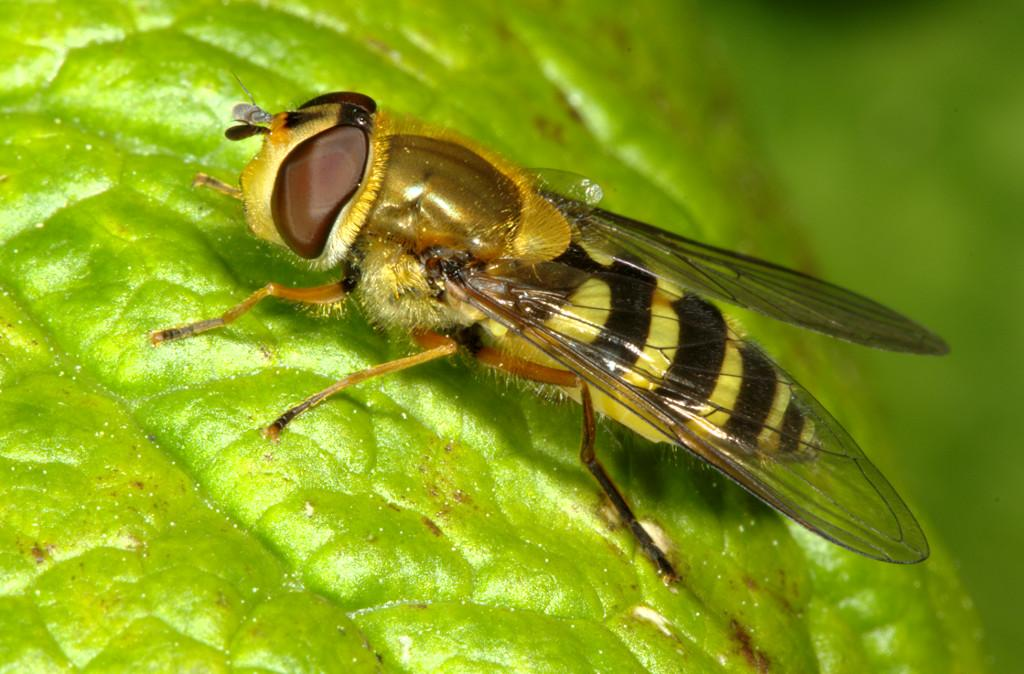 Syrphus ribesii female