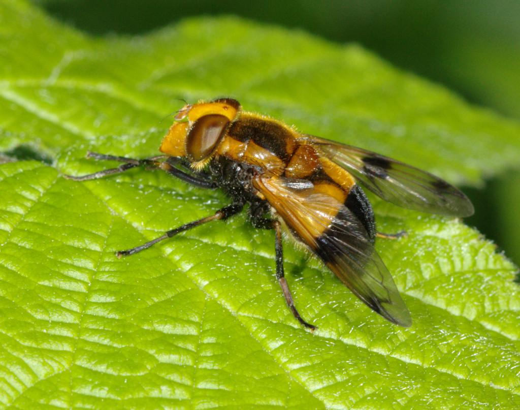 Volucella inflata female