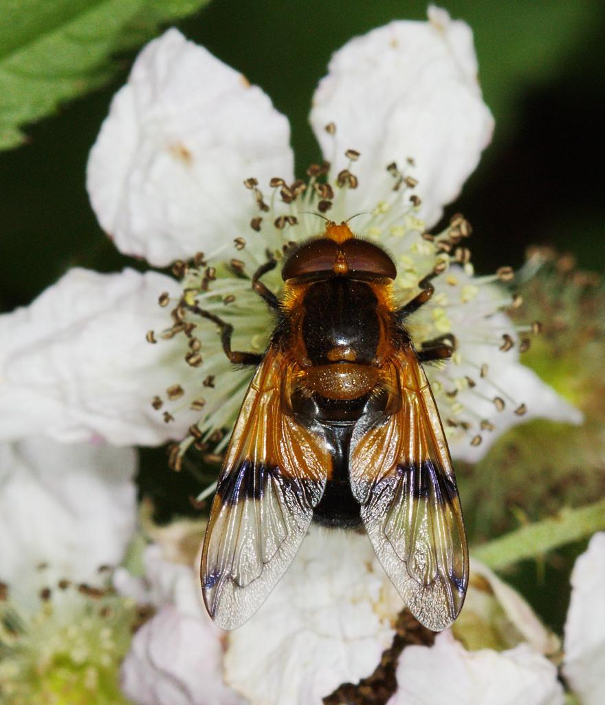 Volucella inflata male on bramble
