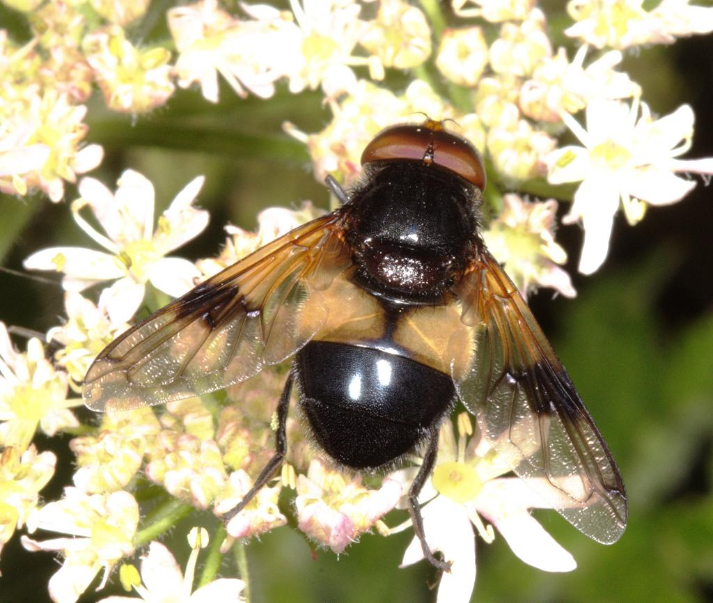Volucella pellucens male on Hogweed